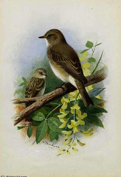 Spotted flycatchers by Archibald Thorburn (1860-1935, United Kingdom)
