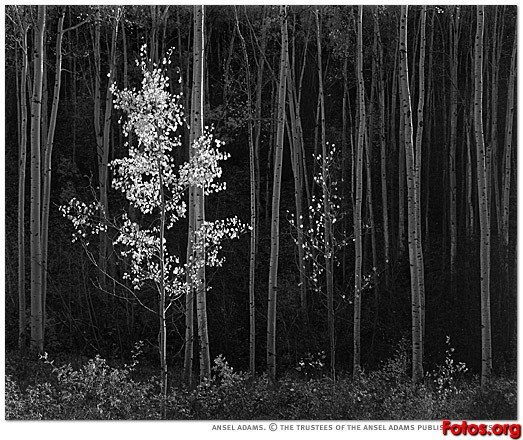 Aspens northern new mexico ansel adams (1958) by Ansel Adams (1902-1984, United States)