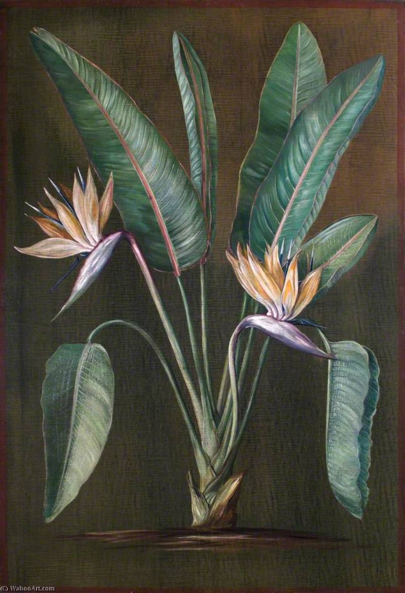 Strelitzia, a South African Plant, 1880 by Marianne North (1830-1890, United Kingdom) | Painting Copy | ArtsDot.com