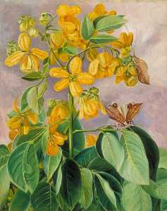 Marianne North - Flowers of Cassia corymbo..