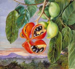 Marianne North - Foliage and Fruit of Ster..