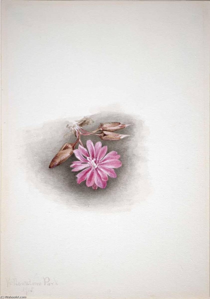 Order Oil Painting : Bitterroot (Lewisia redivivia), 1915 by Mary Vaux Walcott (1860-1940, United States) | ArtsDot.com