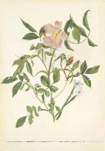 Mary Vaux Walcott - Wild Rose and Blue eyed Grass (Rosa species and Sisyrinchium species)