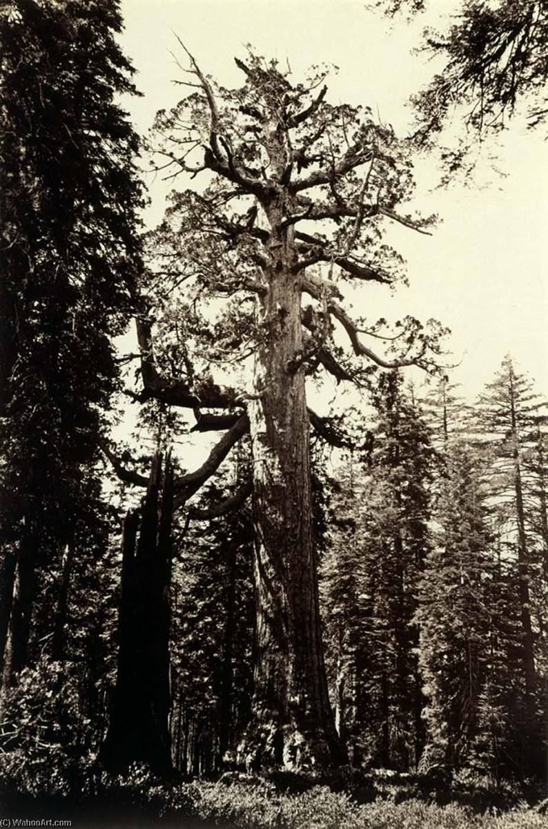 The Grizzly Giant, Mariposa Grove, Yosemite, California, 1875 by Carleton Emmons Watkins (1829-1916, United States) | Museum Art Reproductions | ArtsDot.com