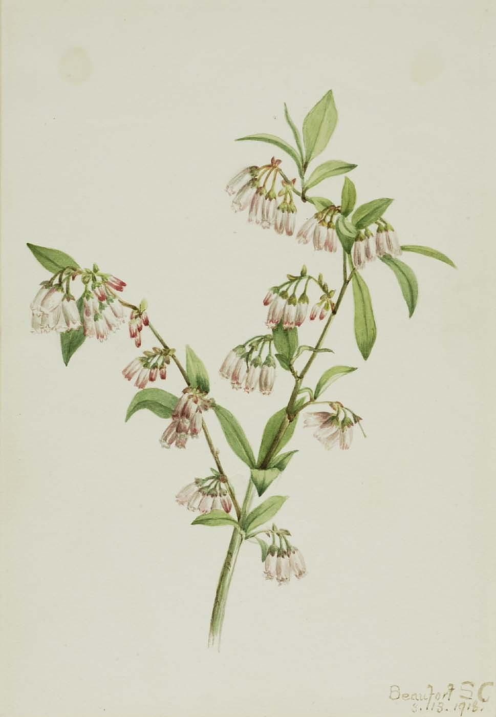 Pineland Blueberry (Vaccinium tenellum), 1918 by Mary Morris Vaux Walcott | Oil Painting | ArtsDot.com