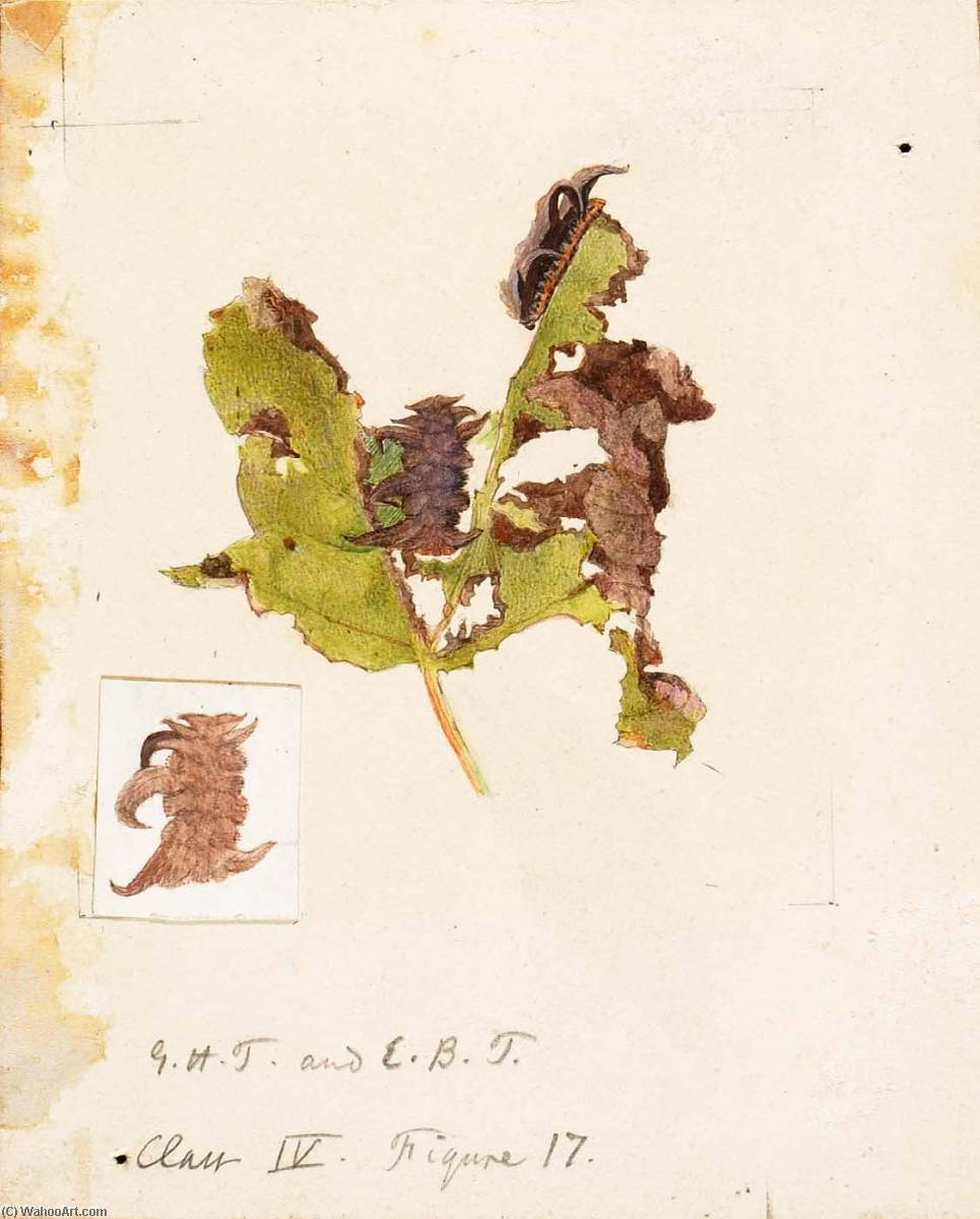 Buy Museum Art Reproductions | Crumpled Leaf Caterpillar, study for book Concealing Coloration in the Animal Kingdom by Emma Beach Thayer | ArtsDot.com