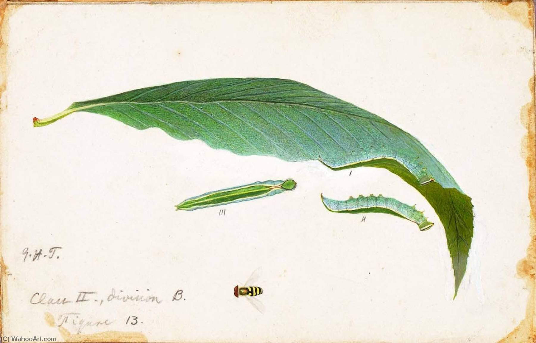 Unspotted Beach Leaf Edge Caterpillar, study for book Concealing Coloration in the Animal Kingdom by Emma Beach Thayer | Museum Quality Copies Emma Beach Thayer | ArtsDot.com