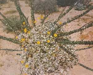 Kenda North - Untitled Daisy Bush Spira..