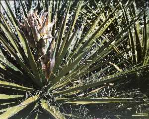 Kenda North - Untitled Flowering Yucca,..