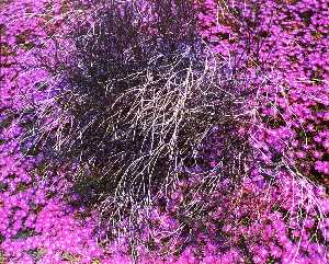 Kenda North - Untitled Purple Flowers, ..