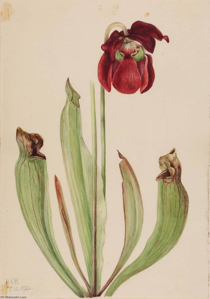 Hybrid Pitcherplant (Sarracenia rubra xs purpurea venosa), 1920 by Mary Vaux Walcott (1860-1940, United States) | Museum Quality Reproductions | ArtsDot.com