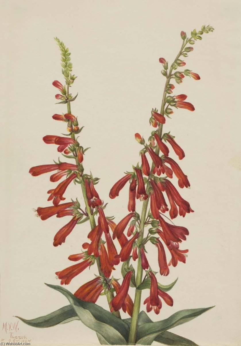 Fire Pentstemon (Pentstemon eatonii), 1927 by Mary Vaux Walcott (1860-1940, United States) | Museum Art Reproductions | ArtsDot.com