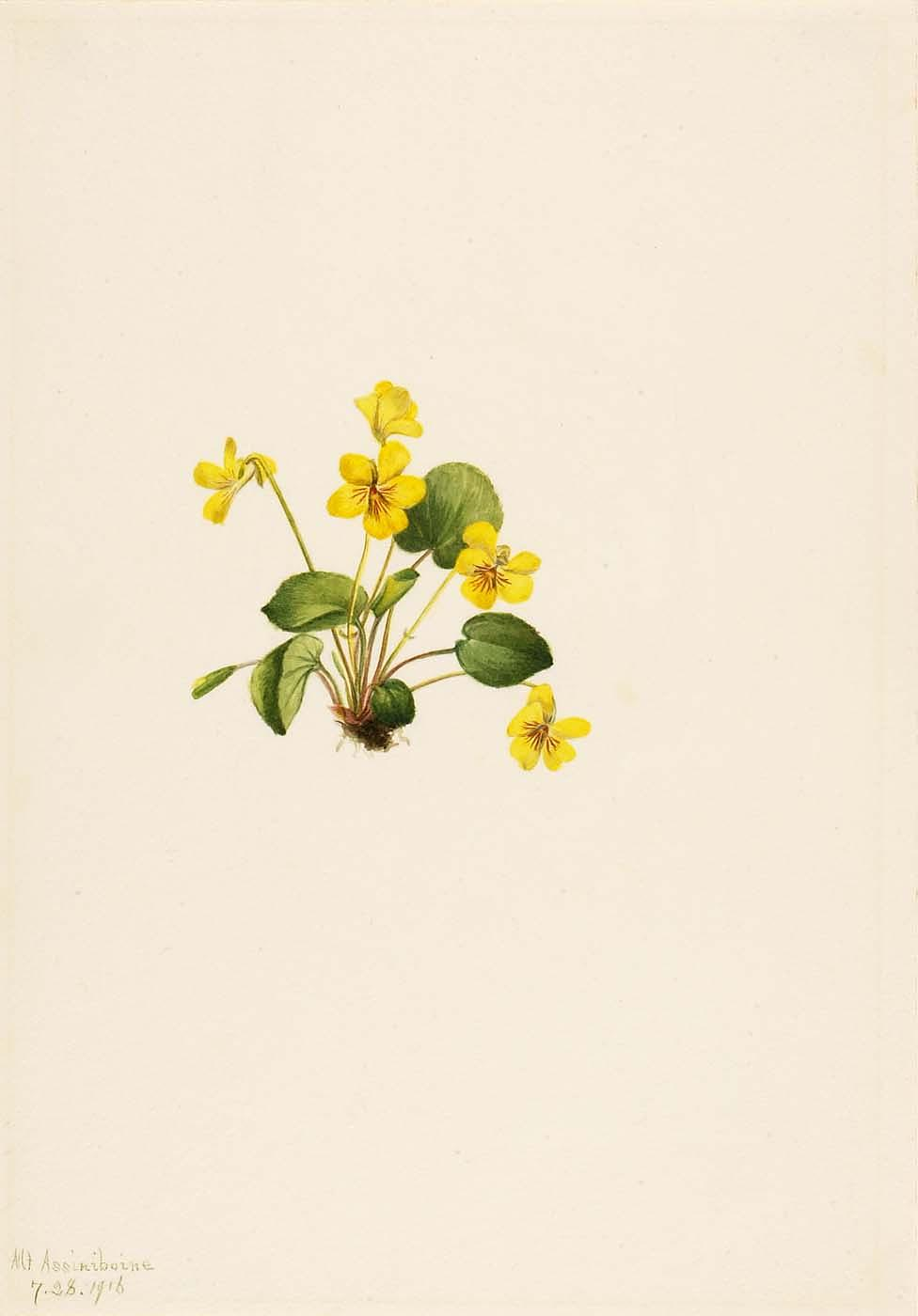 Yellow Violet (Viola orbiculata), 1916 by Mary Morris Vaux Walcott | Oil Painting | ArtsDot.com
